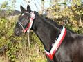 Dark Horse wearing a Quality Rosette