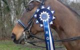 Brown Horse wearing a Blue and White Rosette