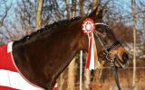 Brown Horse wearing a Quality Rosette at a show